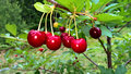 Tart Cherries Royalty Free Stock Photo
