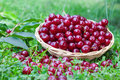 Sour cherries in summer time Royalty Free Stock Photo