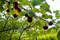 Sour cherry fruits hanging on branch. Sour cherries with leaf. Sour cherry tree Royalty Free Stock Photo
