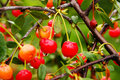 Sour cherry tree or shrub reaching up to m in height leaves petiolate broadly pointed dark green above below lighter reach a Royalty Free Stock Photography
