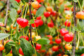 Sour cherry tree or shrub reaching up to m in height leaves petiolate broadly pointed dark green above below lighter reach a Stock Images