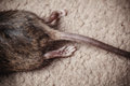 Souris morte Images stock