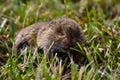 Souris réelle dans l'herbe Image libre de droits