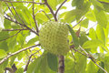 Soursop or Guanabana Royalty Free Stock Image