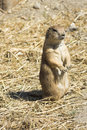 Souslik (ground squirrel) Stock Photo