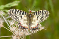 Soutern festoon butterfly resting - seen ventraly Royalty Free Stock Photo