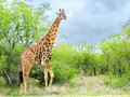 South Africa - November 7, 2011- Giraffe on morning game drive safari at Kruger National Park