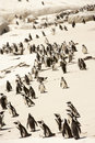 South Africa,Penguin Colony Royalty Free Stock Photo