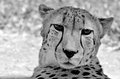 South African cheetah face Royalty Free Stock Photo