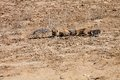 South African ground squirrel,Kalahari Royalty Free Stock Photo