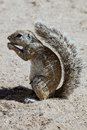 South African ground squirrel, Kalahari, South Africa Royalty Free Stock Photo
