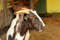 South african indigenous veld goat close up portrait picture of a Stock Image