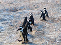 South african penguins in cape town Stock Image