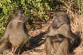 South African primates Royalty Free Stock Photo