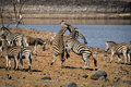 South African zebras fighting near waterhole Royalty Free Stock Photo