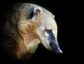 South american coati nasua nasua portrait of a very cute white nosed narica diurnal omnivore mammal Stock Images