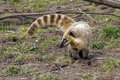 South american coati ring tailed coatimundi nasua nasua diurnal mammals native to america adult animals measure cm Stock Photography