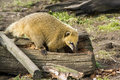 South american coati ring tailed coatimundi nasua nasua looking for food in a punk coatis are omnivore their diet consist Stock Images