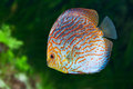 South American fish Discus 0 Royalty Free Stock Photography