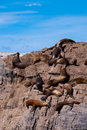 South American Fur Seal Colony in Ushuaia Royalty Free Stock Photo