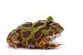 American horned frog isolated on white background