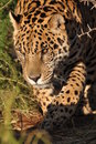 South american jaguar Royalty Free Stock Photo