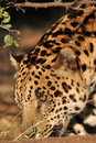 South american Jaguar Stock Images