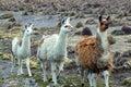 South american llamas in peru Royalty Free Stock Photo