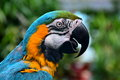 South american macaw portrait the from america is the prettiest bird in the gardens as well as the loudest Royalty Free Stock Photography