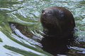 South American Sea Lion Royalty Free Stock Photo