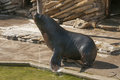 South american sea lion it is image of in zoo Stock Photography