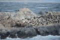 South American sea lion, Otaria flavescens, breeding colony and haulout on small islets just outside Ushuaia.