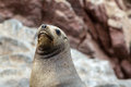South American Sea lion relaxing on the rocks of the Ballestas Islands in the Paracas National park. Peru.