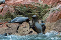South american sea lions relaxing on the rocks of the ballestas islands in the paracas national park peru flora and fauna Stock Image