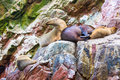 South american sea lions relaxing on rocks of ballestas islands in paracas national park peru flora and fauna Royalty Free Stock Photo