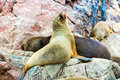 South american sea lions relaxing on rocks of ballestas islands in paracas national park peru flora and fauna Royalty Free Stock Photography