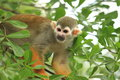 South american squirrel monkey the on the tree Royalty Free Stock Images
