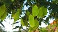 The South American Tipu Tree (...