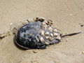 South Bethany Horseshoe crab on a sand 2016 Royalty Free Stock Photo