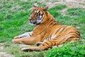 South China tiger Royalty Free Stock Photo