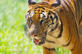 South China tiger walking 2 Royalty Free Stock Photo