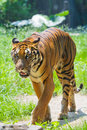 South China tiger walking Royalty Free Stock Photo