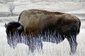 South dakota buffalo hiding in the grass bad lands national park usa Stock Image