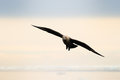 South polar skua flying at sundown Stock Photos