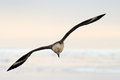 South polar skua flying at sundown Stock Photo