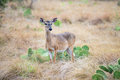 South Texas Doe Royalty Free Stock Photo