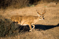 South Texas Whitetail Buck Royalty Free Stock Photo