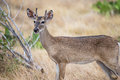 South Texas Yearling Buck Royalty Free Stock Photo
