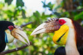 Southeast Asian wreathed hornbills against jungle background.