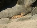 Southern african animals lioness relaxing in the sun Royalty Free Stock Images